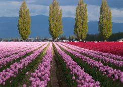 skagit-tulips