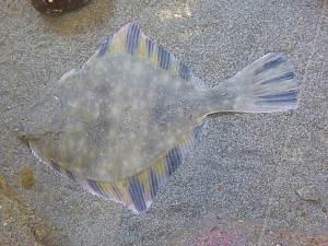 PTMSC Rebecca Mostow Q3 flounder1